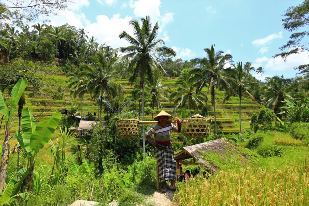 The farmer on the rice fields in the cotton sarong